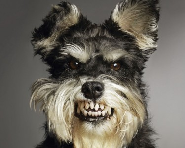 Free-High-Quality-Wallpaper-Of-Most-Dangerous-And-Ugly-Dog-375x300